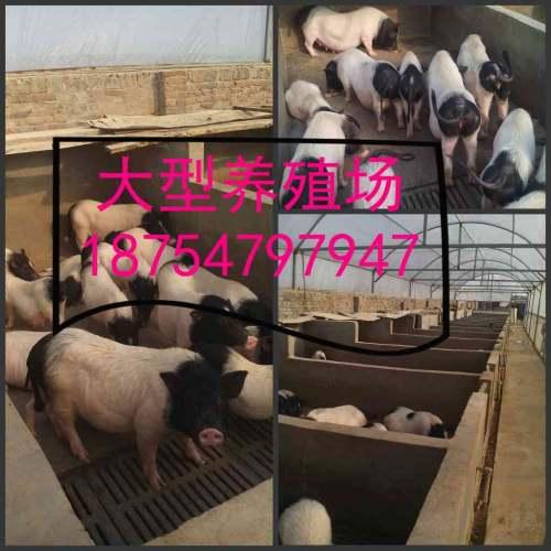 运城山东通亚香猪养殖场巴马香猪苗回收多少钱