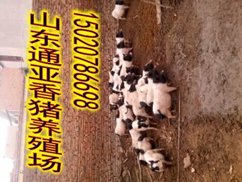 怀化山东通亚香猪养殖场巴马香猪苗回收多少钱