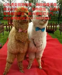 各种萌宠7宠物猪展览斗鸡展览现场打斗