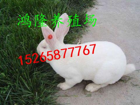 獭兔大型养场 哪里有大型肉兔养殖场 贵州哪里有獭兔