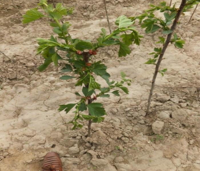 树苗培育基地。 吉林大金星山楂树苗培育基地 山楂苗栽培技术:山楂芽苗移栽为了提高当年山楂实生苗的嫁接率,加速成品苗的培育,根据华北各地的经验,可采用山楂芽苗移栽的方法。这种方法省工、省地,便于管理,可当年嫁接,两年出圃。具体方法是: (1)集中育苗选屋前或背风向阳的地方作畦,将层积处理好的山楂种子于头年秋季或第二年春季(3月下旬一4月上旬)播种。为了经济利用土地,便于管理,可采用畦播或宽幅播。4月中、下旬,幼苗出土后,即可移栽。  (2)整地与移栽移栽前要精细整地,施足基肥,每亩5000公斤左右,如地过于
