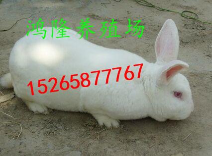 到哪里能买到塞北兔种兔