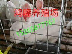 农村创业 创业养兔、养兔创业 肉兔好项目养殖