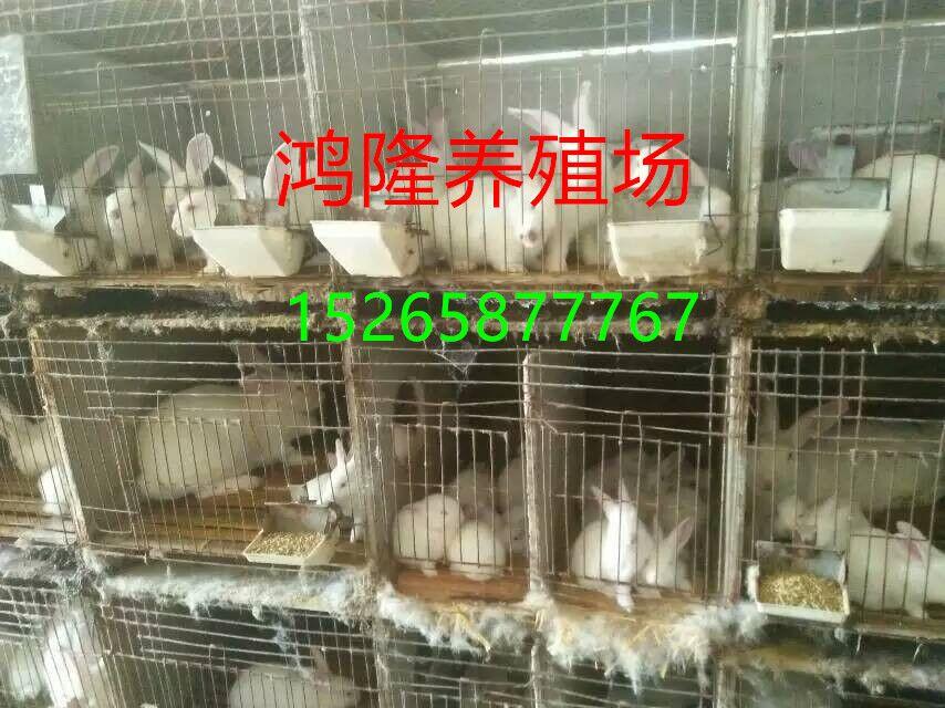供应长毛兔品种、鸿隆长毛兔养殖基地
