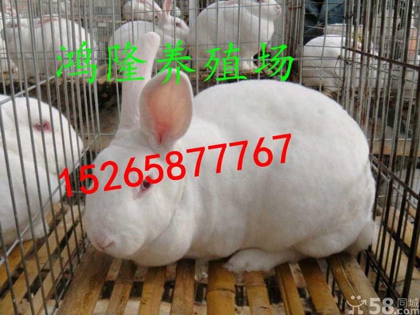 供应养殖肉兔的成本獭兔肉兔养殖利润