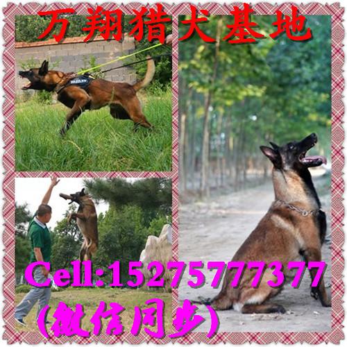 遵义马犬训练视频爬树方法
