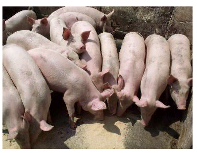 优质仔猪基地低价批发