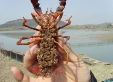 供应龙虾苗全程提供养殖技术包回收包成活