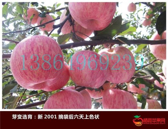 清徐县专业神富一号苹果苗繁育基地临沂绿洲果树苗木13864969239