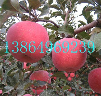 沿滩区专业神富一号苹果苗繁育基地临沂绿洲果树苗木13864969239