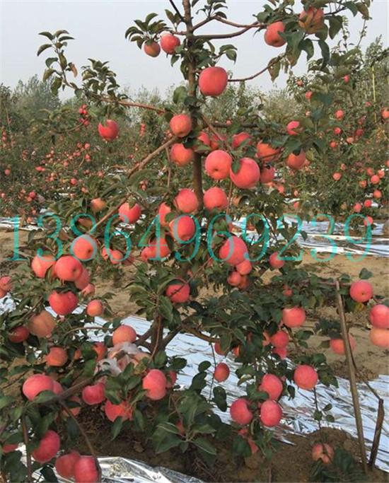 南部县专业神富一号苹果苗繁育基地临沂绿洲果树苗木13864969239