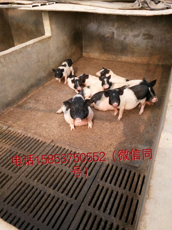 鹤壁山东通亚香猪养殖场巴马香猪苗回收多少钱
