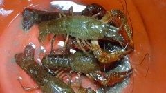 什么时候投放龙虾苗合适一亩地能产多少斤龙虾苗