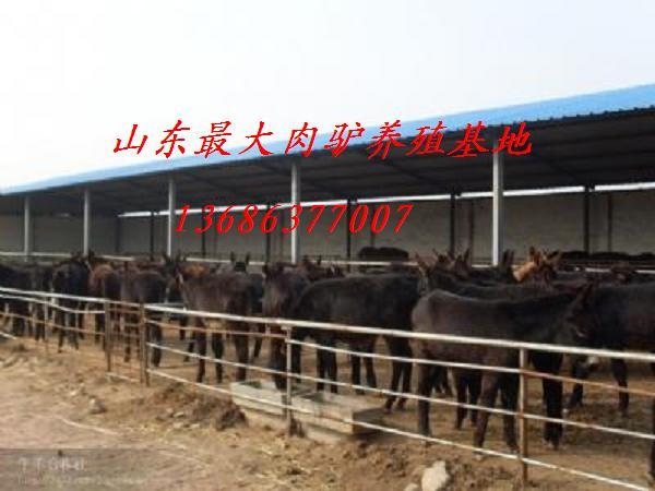 供应肉驴养殖山东肉驴市场价格