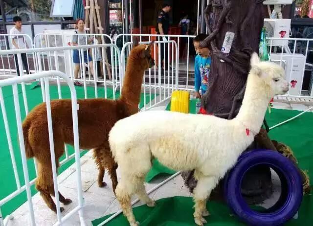萌宠展览新抚区常年出租各种动物羊驼