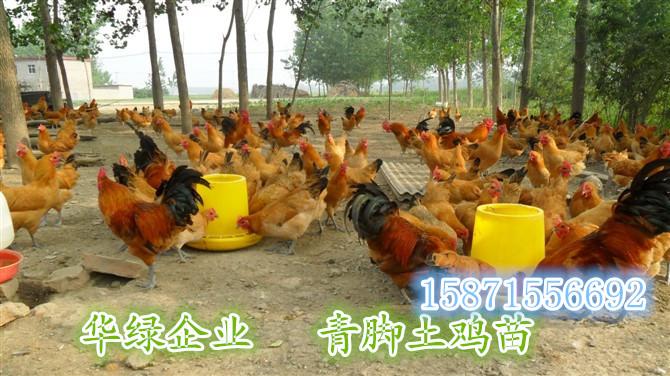 湖南绿壳蛋鸡苗价格长沙绿壳蛋鸡种苗销售