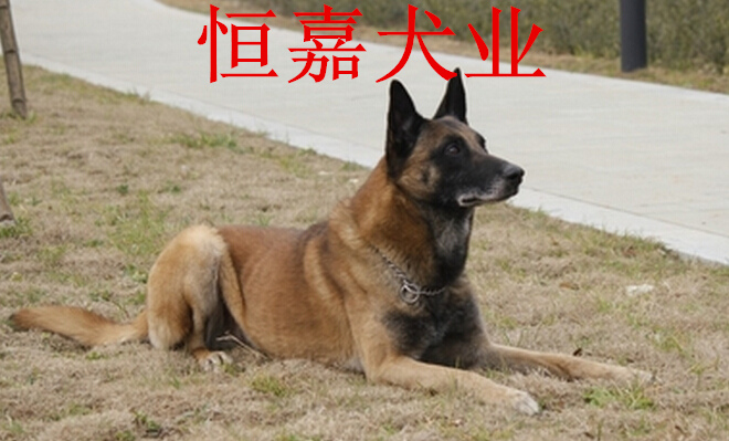 广州哪里有卖两个月的马犬的
