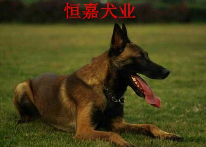 深圳纯种马犬多少钱一只