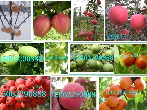 2公分长寿果-各种果树苗品种保证-山东金诚苗木
