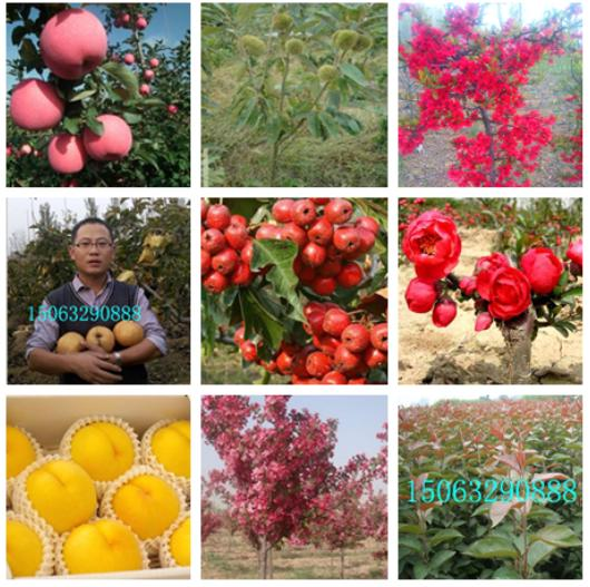 8公分长寿果-各种果树苗品种保证-山东金诚苗木