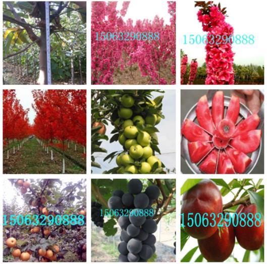 9公分长寿果-各种果树苗品种保证-山东金诚苗木
