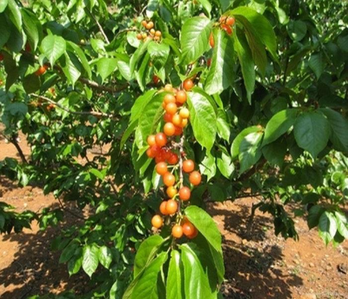 3公分,4公分,5公分樱桃树苗各5万棵,选育优质樱桃苗品种,提供以下服务