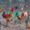 西安优质土鸡苗批发、优质青脚土鸡苗、纯种土鸡苗、土鸡养殖技术、血毛土鸡苗批发