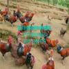 汉中优质土鸡苗批发、优质青脚土鸡苗、纯种土鸡苗、土鸡养殖技术、血毛土鸡苗批发