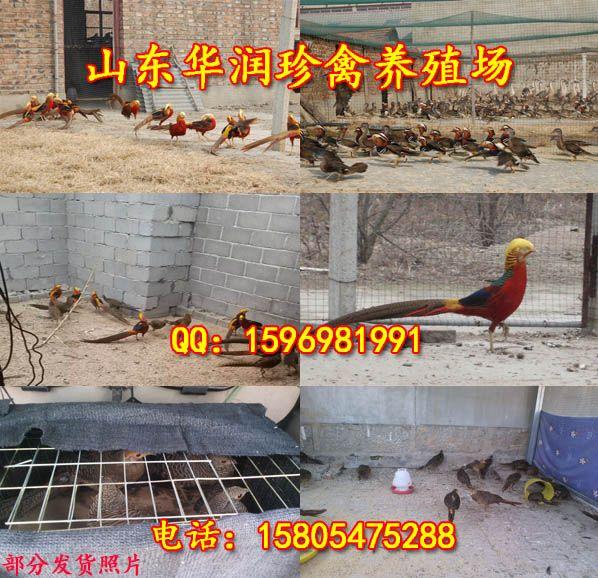 黑龙江北安那卖红腹锦鸡
