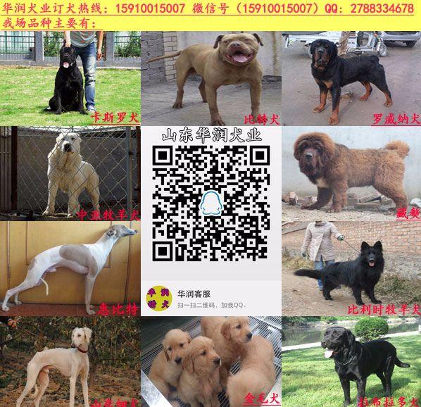 崇信县低价出售德国牧羊犬幼仔