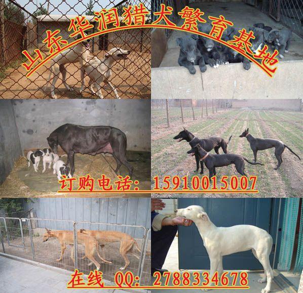 广东揭阳哪个地方有卖格力犬幼犬