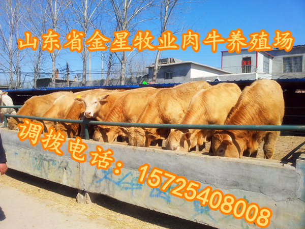 四川改良肉牛犊品种养殖