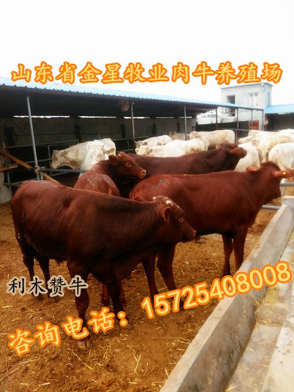 云南附近改良肉牛犊养殖公司