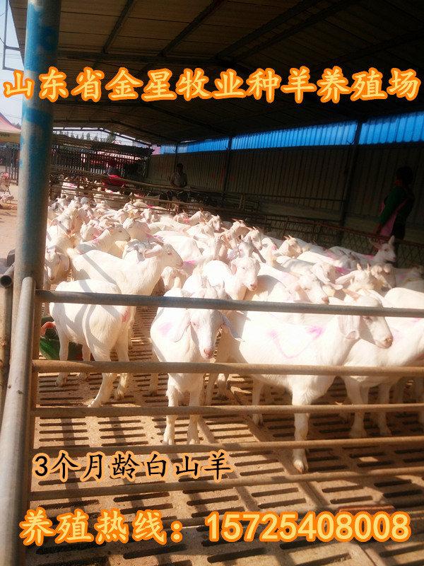 哪里有白山羊出售 白山羊批发