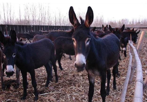 廊坊哪里有乌头驴养殖基地永腾乌头驴多少钱一匹