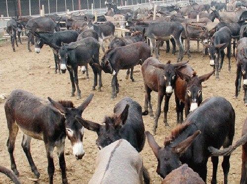 保定哪里有乌头驴养殖基地永腾乌头驴免费运输