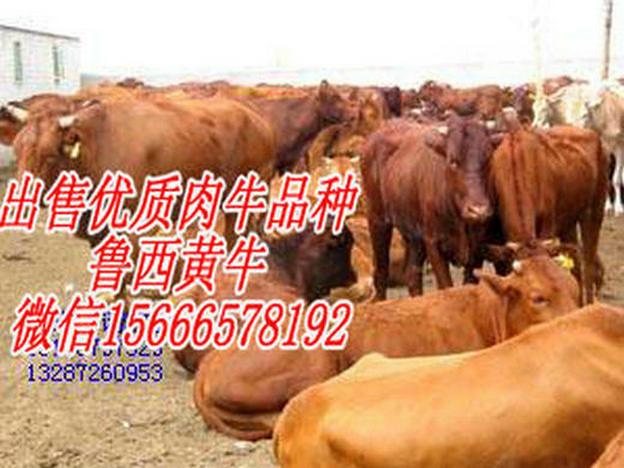 阳泉市盂县有没有卖肉牛的