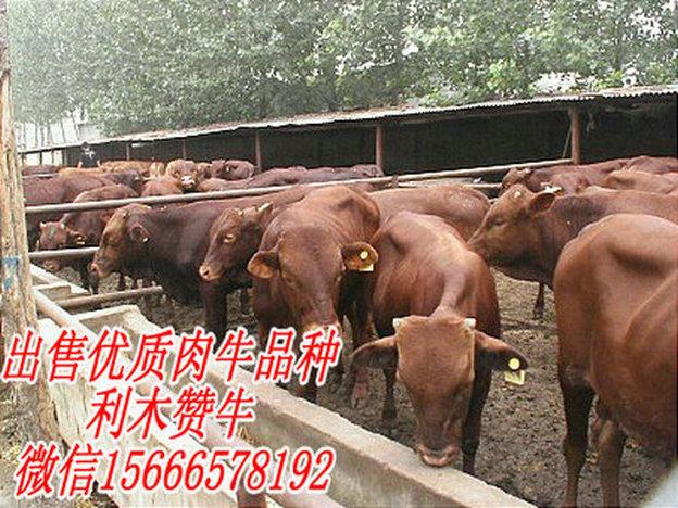 涪陵区哪里卖黄牛