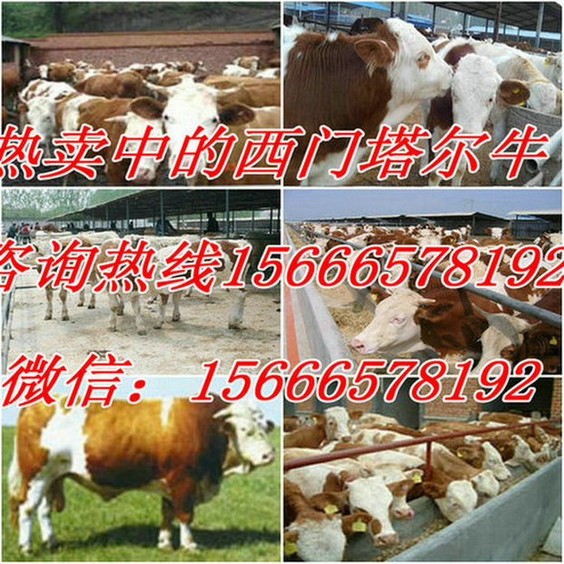 茂名市电白县养牛利润分析