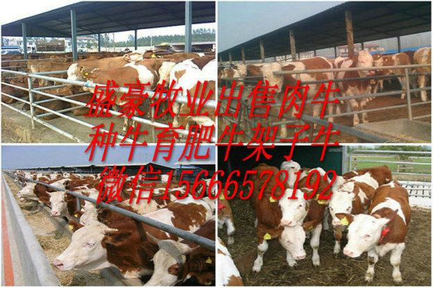 深圳市南山区育肥肉牛犊