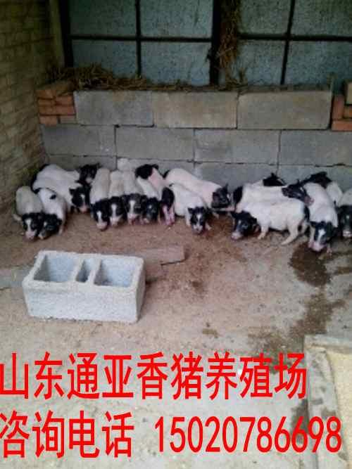 汉寿县出售巴马香猪多少钱地区哪有卖小香猪的