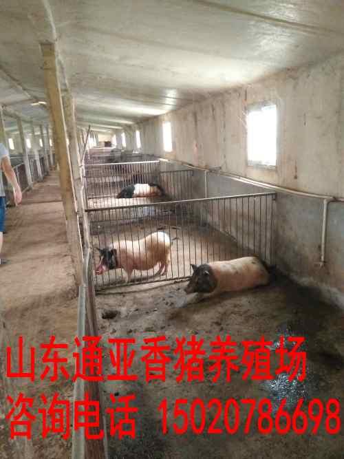 香猪养殖贺州请问哪里有养殖巴马香猪的