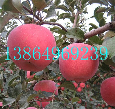 罗山县供应优质矮化苹果苗临沂绿洲果树苗木13864969239