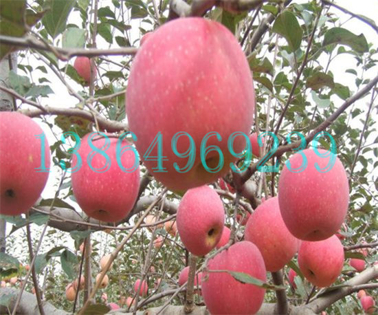 忻城县供应优质矮化苹果苗临沂绿洲果树苗木13864969239