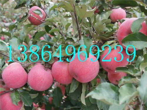雅安供应优质矮化苹果苗临沂绿洲果树苗木13864969239