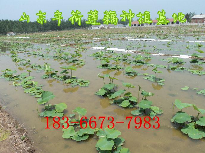 钦州市浅水莲藕种植技术视频