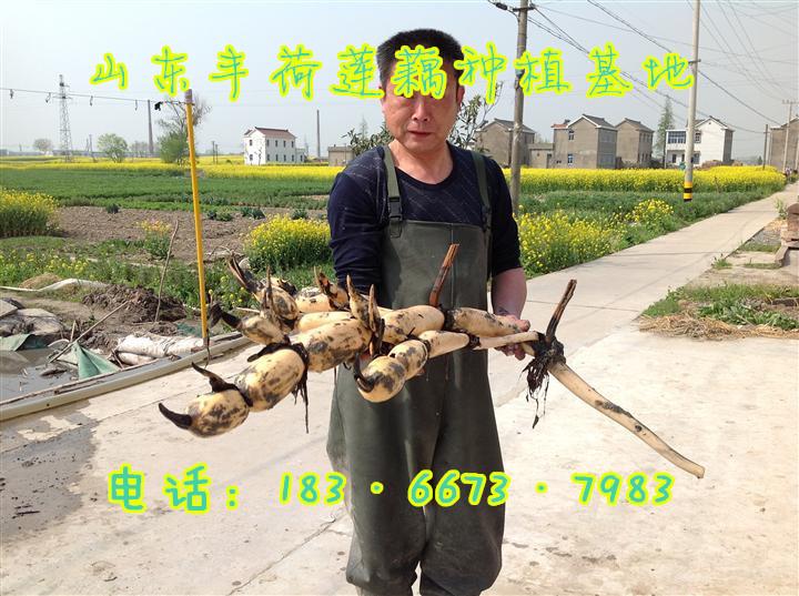 西藏省拉萨市大棚种植莲藕