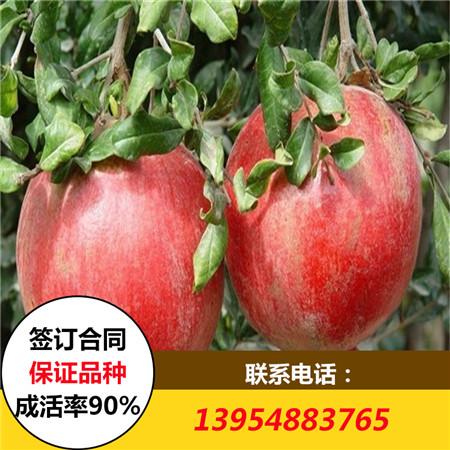 �刂莅籽┕�主白草莓苗供��