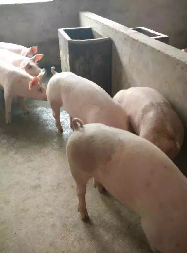 白银长白子猪厂家低价出售