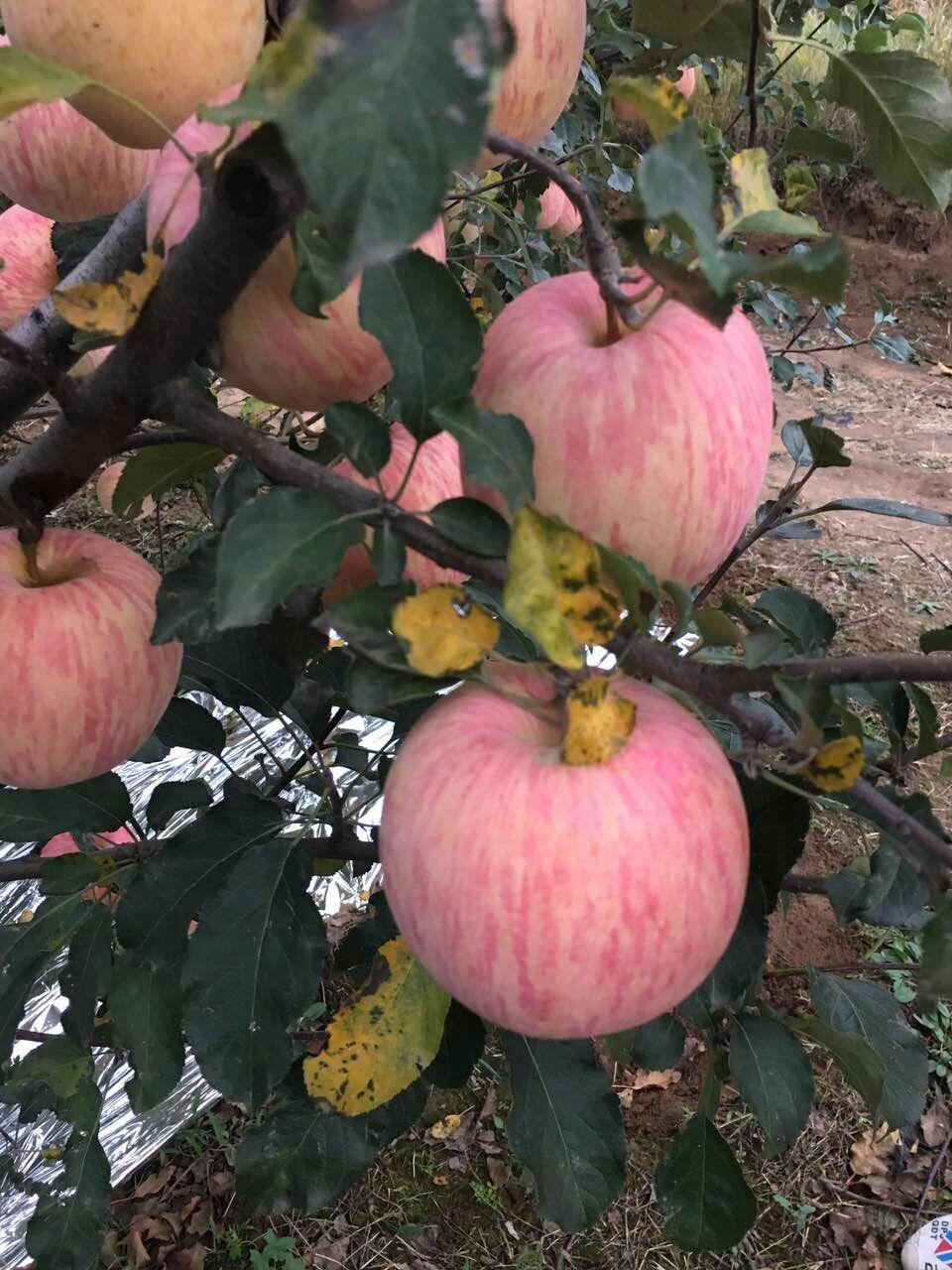 陕西纸袋红富士、膜袋红富士苹果价格